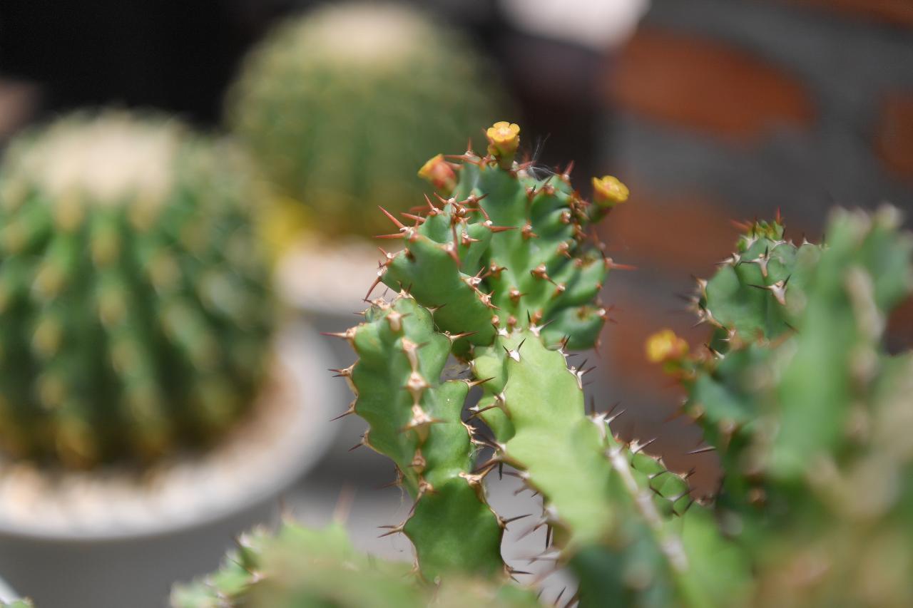 Euphorbia tortirama f.cristata