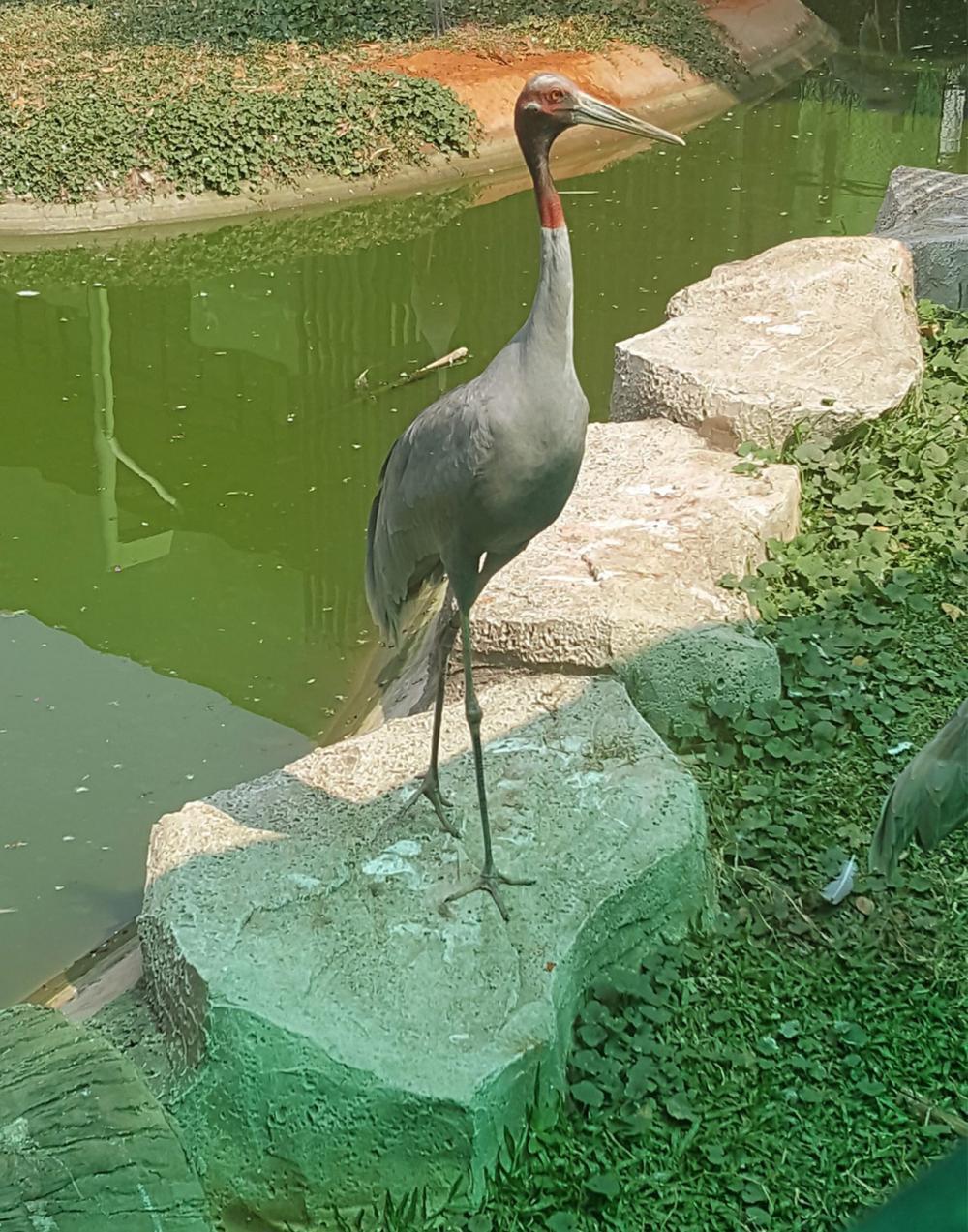 นกกระเรียนพันธุ์ไทย.
